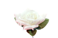 Le beau blanc a monté Photographie stock