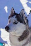 Le beau bon chien de traîneau de chien examine la distance en hiver Image stock