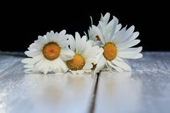 Le beau bouquet des marguerites sensibles de fleurs blanches sur brillant courtisent Photo stock