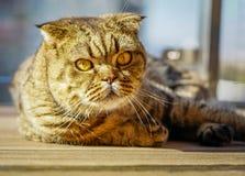 Le beau brun a dépouillé le chat de pli d'écossais sur un fond naturel photos stock