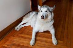Le beau brun a observé le chien enroué se couchant sur le plancher en bois photos libres de droits