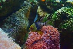 Le beau cardinalfish de pyjama avec des coraux et des roches à l'arrière-plan Images stock