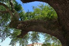 Le beau chêne vivant du sud a une image d'une tête de cerfs communs dans elle des branches du ` s Image stock