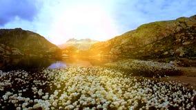 Le beau champ de coton fleurit à la vue aérienne de paysage de lac de montagne banque de vidéos