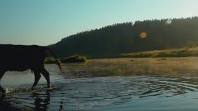 Le beau champ de matin avec la couverture de rivière dans la brume et une vache se lave dans l'eau clips vidéos