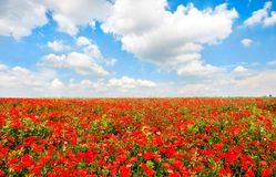Le beau champ du pavot rouge fleurit avec le ciel bleu et le cloudscape photo libre de droits
