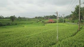 Le beau champ vert avec du riz égrappe le balancement en vent Indonésie Bali banque de vidéos
