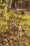 Le beau chat brun chasse dans une herbe verte et Photographie stock