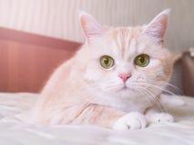 Le beau chat crème se trouve sur le lit, plan rapproché photo stock