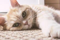 Le beau chat cr?me se trouve sur le plancher, plan rapproch? photos stock