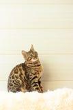 Le beau chat du Bengale sur le tapis Images stock