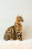 Le beau chat du Bengale sur le tapis Photos stock