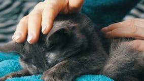 Le beau chat gris s'étend sur le recouvrement d'une femme qui le frotte doucement et il ronronne et touche ses pattes banque de vidéos
