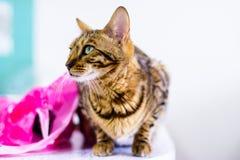 Le beau chat mignon du Bengale a placé sur la table Photos stock