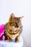 Le beau chat mignon du Bengale a placé sur la table Photo libre de droits