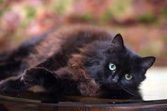 Le beau chat noir pelucheux se trouve sur une table en verre images libres de droits