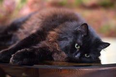 Le beau chat noir pelucheux se trouve sur une table en verre image libre de droits