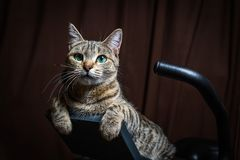 Le beau chat rayé se trouve sur un vélo stationnaire et vous regarde photos stock