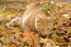 Le beau chat rouge aux yeux bleus mange Photo stock
