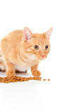 Le beau chat rouge mange de l'alimentation Photos libres de droits