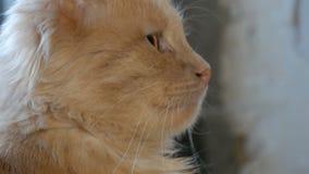 Le beau chat rouge se reposant sur une fenêtre dans la maison, se ferment vers le haut de la vue banque de vidéos