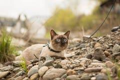 Le beau chat, siamois, avec des yeux bleus se trouve Image stock