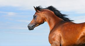 Le beau cheval Arabe brun dans le mouvement a isolé o Photographie stock