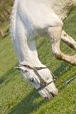 Le beau cheval blanc sur un pré vert Photographie stock