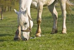 Le beau cheval blanc sur un pré vert Image libre de droits