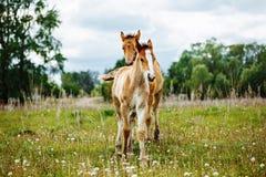 Le beau cheval mange l'herbe dans le domaine image stock