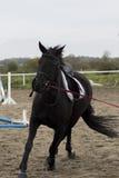 Le beau cheval noir galope sur l'arène Image libre de droits