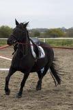Le beau cheval noir galope sur l'arène Photo libre de droits