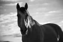 Le beau cheval scrute dans l'objectif de caméra photos libres de droits