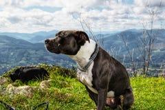 Le beau chien Image libre de droits