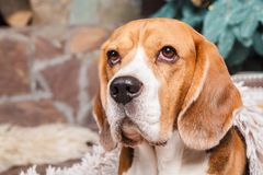 Le beau chien de briquet se repose près d'un arbre de nouvelle année Plan rapproché avec l'espace de copie Photographie stock