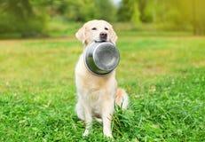 Le beau chien de golden retriever se tenant dans des dents roulent sur l'herbe Photos stock