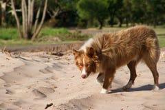 Le beau chien métis croise la marche sibérienne par le parc photographie stock libre de droits