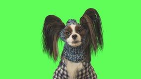Le beau chien Papillon dans les vêtements et le chapeau parle sur une vidéo courante de longueur de fond vert banque de vidéos