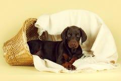 Le beau chiot brun de race de dobermann se trouve sur un dos de beige Photographie stock libre de droits