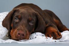 Le beau chiot brun de race de dobermann très triste, a mis sa tête a image stock