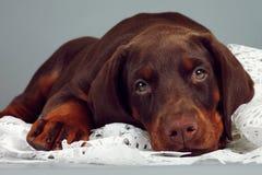 Le beau chiot brun de race de dobermann très triste, a mis sa tête a Photo stock