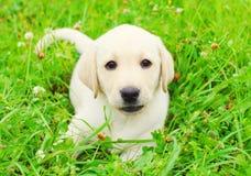 Le beau chiot labrador retriever de chien est repos menteur sur l'herbe Images stock