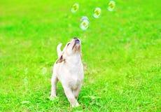 Le beau chiot labrador retriever de chien joue avec des bulles de savon sur l'herbe Photos libres de droits