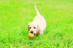 Le beau chiot labrador retriever de chien joue avec une boule en caoutchouc sur une herbe Image stock