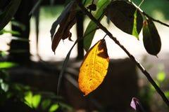 Le beau congé de couleur jaune image stock