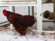 Le beau coq rouge montre ses couleurs contre l'au sol de blanc de neige images stock