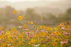 Le beau cosmos de nature fleurit des prés pour le fond Photographie stock