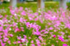 Le beau cosmos fleurit pendant la saison d'été dans la ville o de Gyeongju image stock