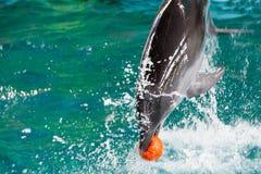 Le beau dauphin gambade dans l'eau Photographie stock libre de droits