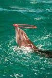 Le beau dauphin gambade dans l'eau Photo stock